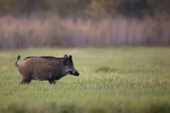 Wild boar in a clearing Stock Image