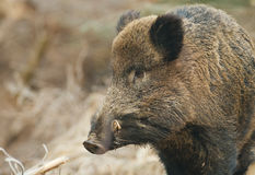 Wild boar close-up stock photo