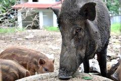Wild boar. Close up wild boar pig Stock Image