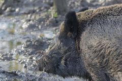 Wild boar close up portrait Stock Photography