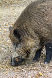 Wild boar close up side. Wild boar (Sus scrofa) in national park 'Het Aardhuis' at the 'Hoge Veluwe' in the Netherlands Royalty Free Stock Photography