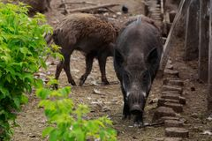 Wild boar close-up. Wild boar on a sunny day closeup Royalty Free Stock Image