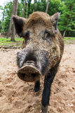 Wild boar close up. Wild boar (Sus scrofa) in national park 'Het Aardhuis' at the 'Hoge Veluwe' in the Netherlands Royalty Free Stock Photos