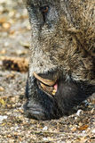 Wild boar close up. Wild boar (Sus scrofa) in national park 'Het Aardhuis' at the 'Hoge Veluwe' in the Netherlands Royalty Free Stock Photo