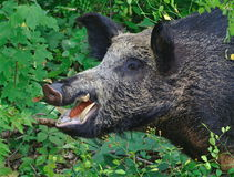 Wild Boar Close- up Royalty Free Stock Image