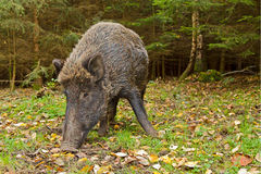 Wild boar close up, wide angle Stock Photo