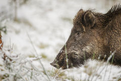Wild boar close-up in winter Royalty Free Stock Photo