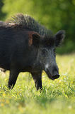 Wild boar closeup Royalty Free Stock Photos