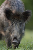 Wild boar closeup Royalty Free Stock Photo