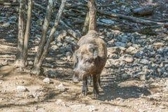 Wild boar coming towards the camera. Royalty Free Stock Photos