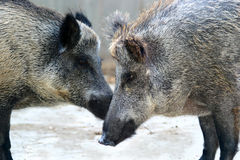 Wild Boar Couple royalty free stock photography