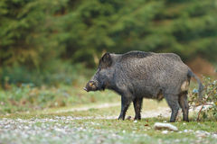 Wild boar crossing. Forest path, male with tusks Stock Image