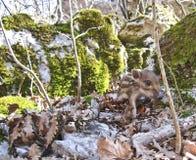 Wild boar cub Royalty Free Stock Photography