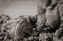 Wild boar with cub Stock Photo