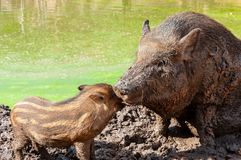 Wild boar with cub Stock Image