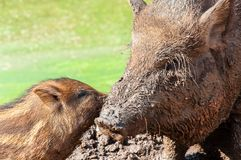 Wild boar with cub Royalty Free Stock Photography