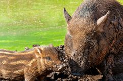 Wild boar with cub Royalty Free Stock Image
