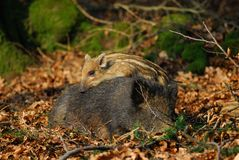 Wild boar + cup Stock Images