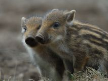 Wild boar, cup stock image
