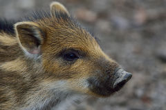 Wild boar cup portrait Royalty Free Stock Photography