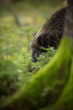 Wild boar, curious approach Royalty Free Stock Photos