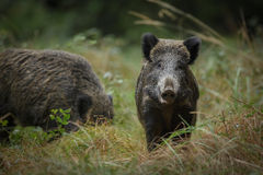 Wild boar, curious Stock Image