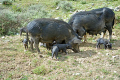 Wild boar with cute piglets walking Royalty Free Stock Photo