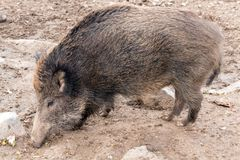 Wild boar in deer park royalty free stock photography