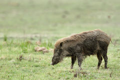 Wild boar in the Dhikala grassland Royalty Free Stock Photo