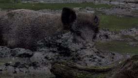 Wild boar in the dirt stock video footage