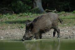 Wild boar is drinking. Wild boar drinking on a lake, germany Stock Photo