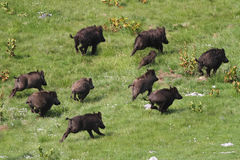 Wild boar drove runing. Frightened wild boar drove runing awy stock photography
