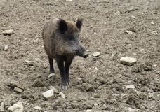 Wild boar on earthy ground Stock Images