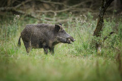 Wild boar eating apples Stock Photography