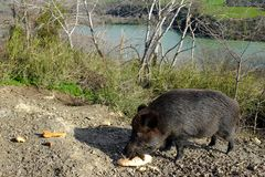 Wild boar eating at the edges of the Tevere river Stock Photos