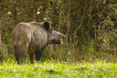 Wild boar, eating fallen apples Stock Image