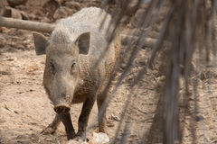 Wild boar. In the evening light in a forest in thailand Royalty Free Stock Image