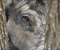 Wild boar eye. stock images
