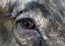 Wild boar eye Stock Images