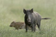 Wild Boar eyecontact Royalty Free Stock Photos