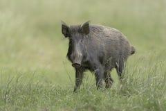 Wild Boar eyecontact II Stock Images