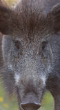 Wild boar face Royalty Free Stock Photo