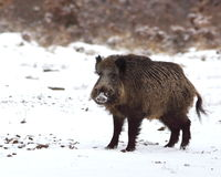 Wild boar face to face Stock Images