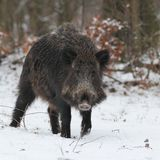 Wild boar face to face 2. Royalty Free Stock Photography