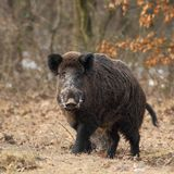 Wild boar face to face 3. Stock Photo