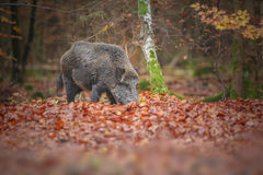Wild boar in fall colors Stock Photos
