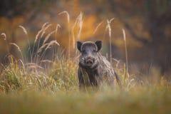 Wild boar in fall Stock Photos