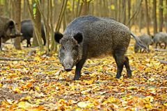 Wild boar. Fall in their natural habitat Stock Images