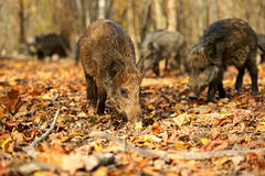 Wild boar Royalty Free Stock Photos