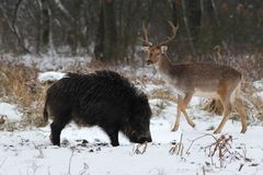 Wild boar with a fallow buck. Hungry wild boar with a fallow buck Stock Photography